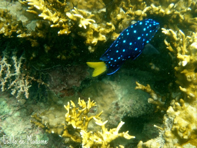 peixe azul_
